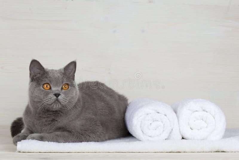 Gato britânico em uma toalha imagens de stock