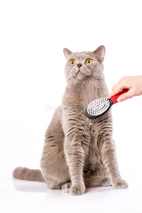 Gato britânico no fundo branco fotos de stock