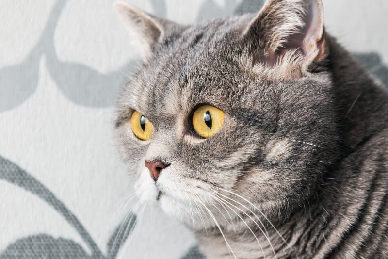 Gato britânico que olha atentamente na janela fotografia de stock royalty free