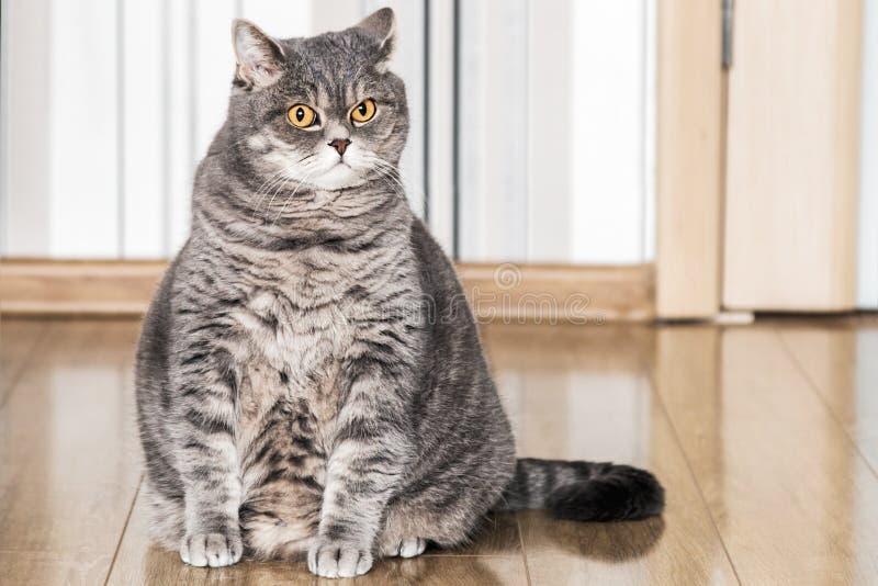 Gato britânico que senta-se no assoalho e que olha com cuidado fotos de stock royalty free