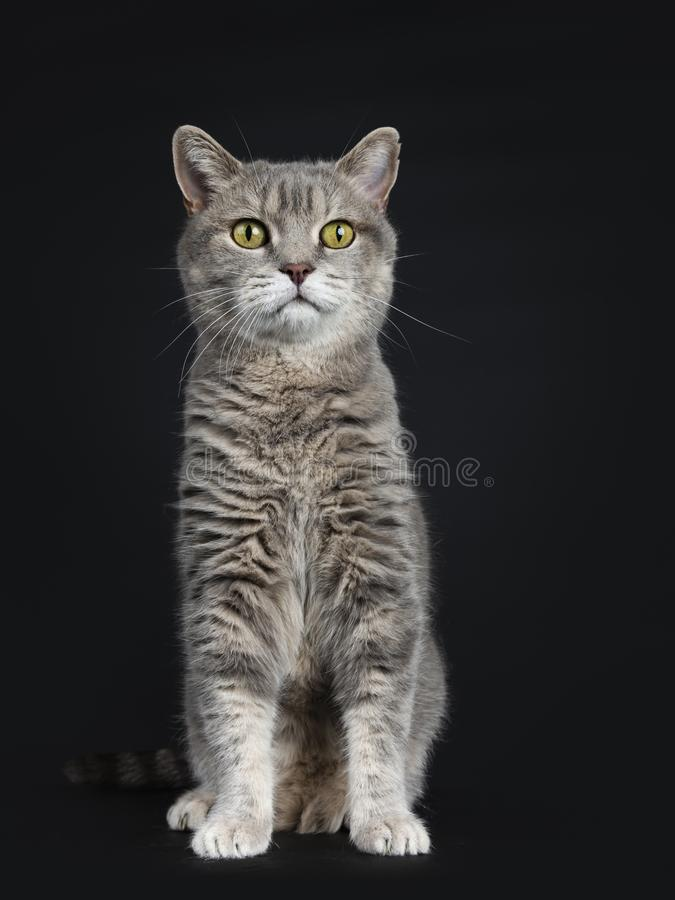Gato britânico superior de vista sábio de Shorthair, isolado no fundo preto foto de stock