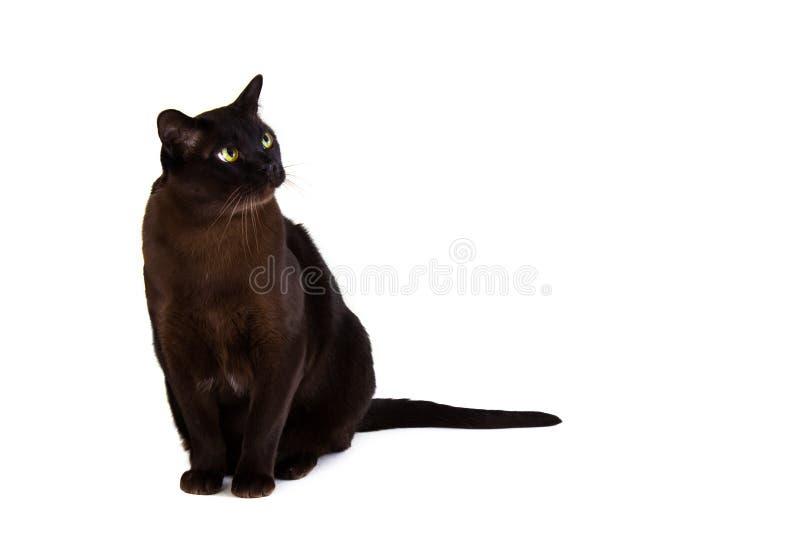 Gato burmese británico foto de archivo