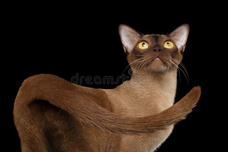 Gato burmese de Brown aislado en fondo negro fotos de archivo libres de regalías