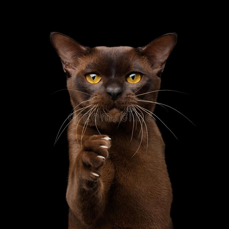 Gato burmese de Brown aislado en fondo negro imágenes de archivo libres de regalías