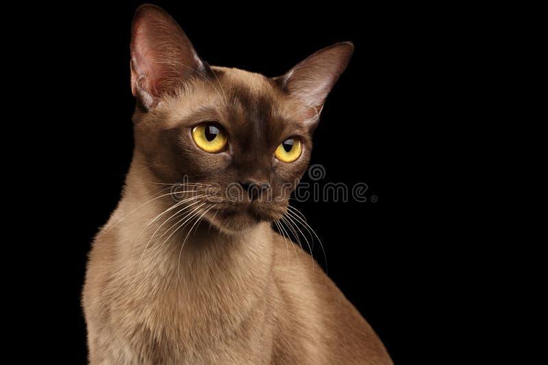 Gato burmese de Brown en fondo negro fotografía de archivo