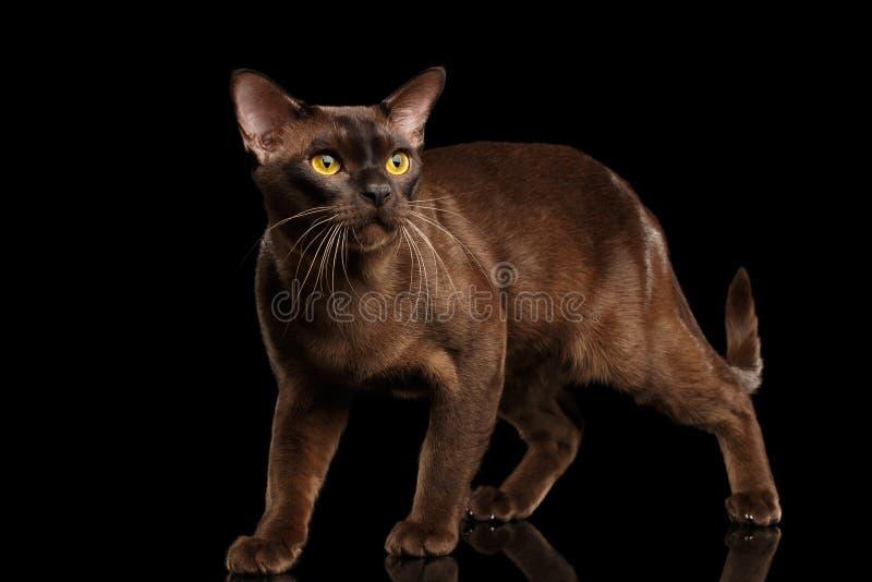 Gato burmese de Brown en fondo negro imágenes de archivo libres de regalías