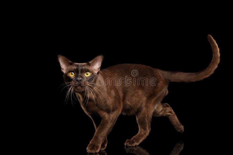 Gato burmese de Brown en fondo negro fotos de archivo libres de regalías