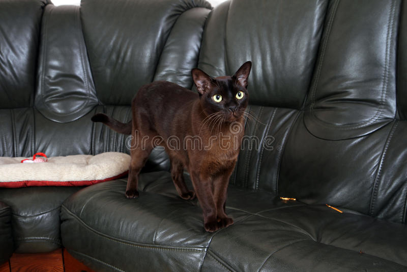 Gato burmese del retrato fotos de archivo