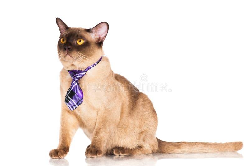 Gato burmese divertido en un lazo fotos de archivo