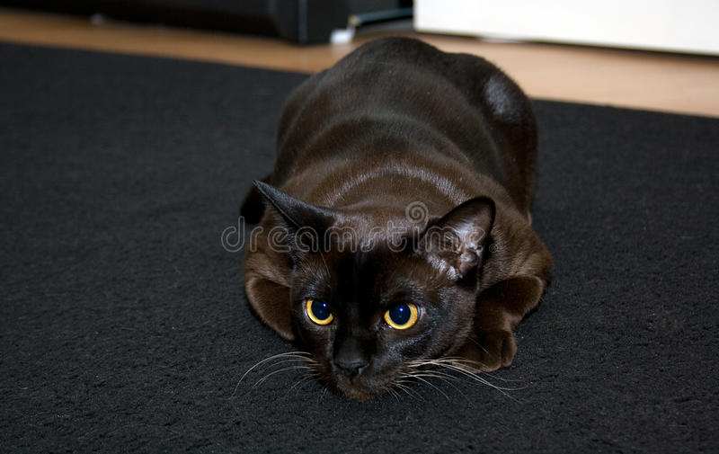 Gato burmese do animal de estimação imagem de stock royalty free