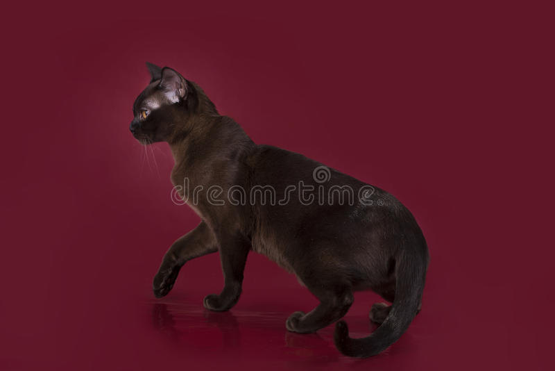 Gato burmese isolado no fundo de Borgonha foto de stock