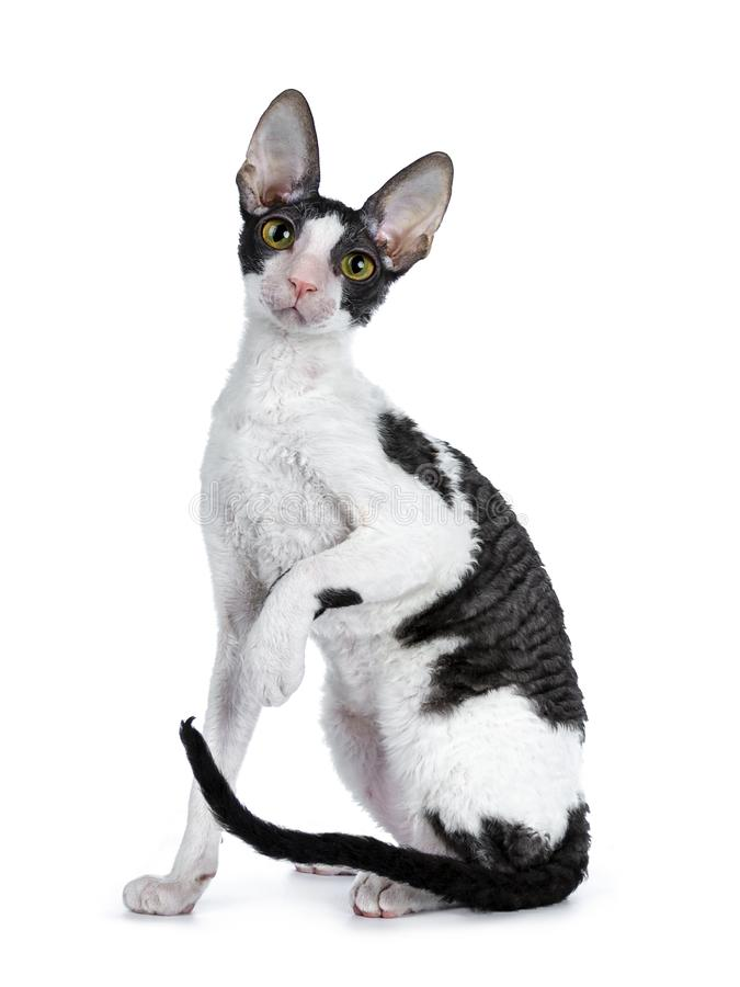 Gato córnico bicolor preto surpreendente de Rex no fundo branco imagens de stock royalty free