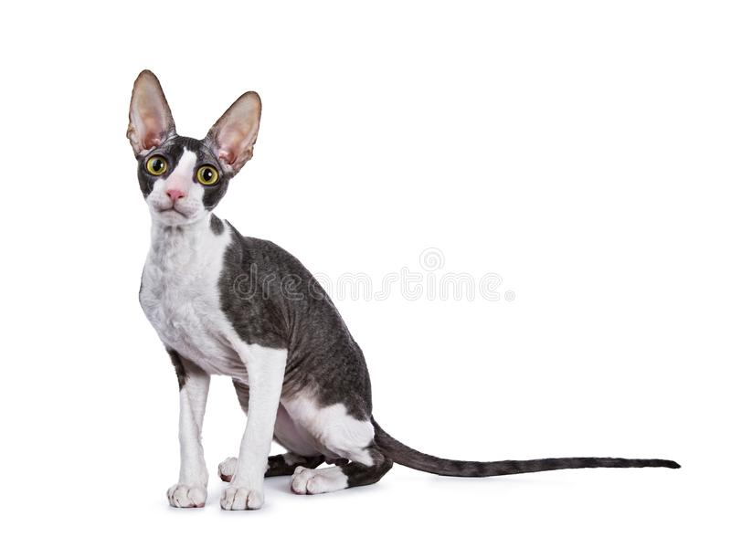 Gato córnico/gatinho de Rex que senta maneiras laterais fotografia de stock royalty free