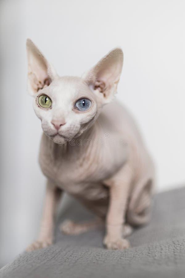 Gato calvo branco eyed impar do sphynx imagem de stock royalty free