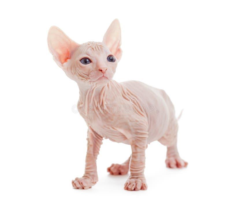 Gato calvo do albino do sphynx de Donskoy isolado foto de stock royalty free