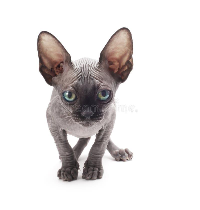Gato calvo do Sphinx imagem de stock