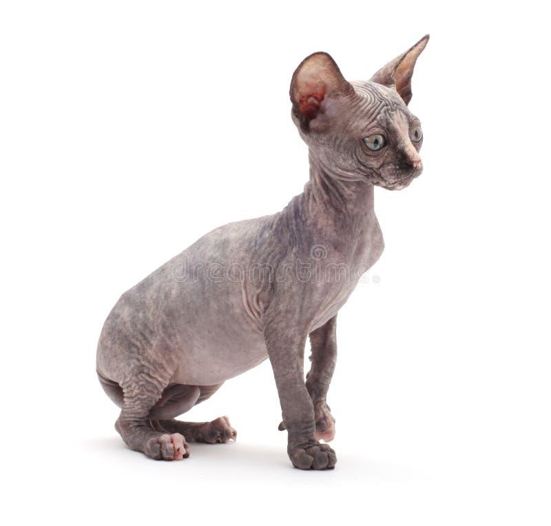 Gato calvo do Sphinx imagens de stock