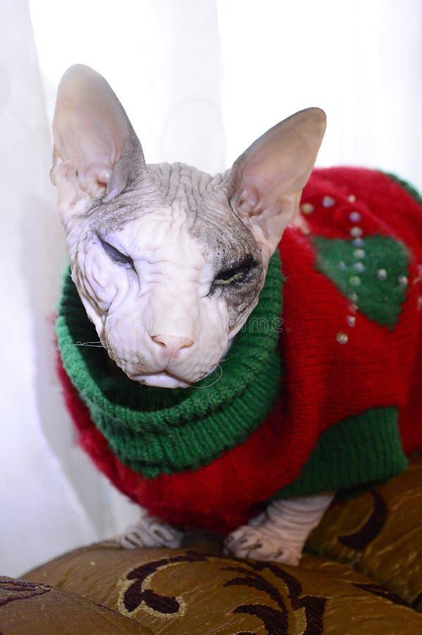 Gato calvo en traje fotos de archivo libres de regalías