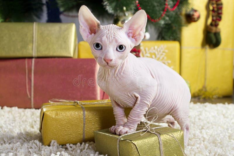 Gato canadense do sphynx imagens de stock