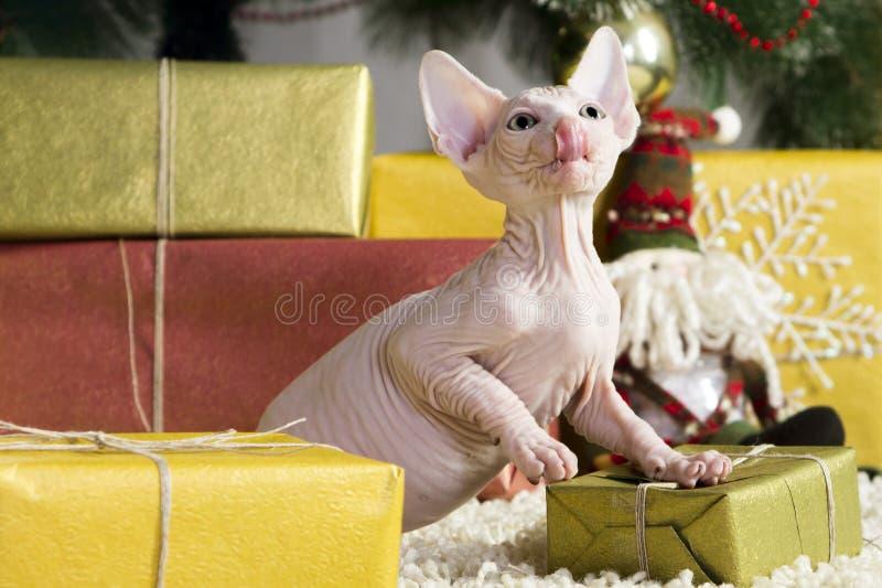 Gato canadense do sphynx fotos de stock