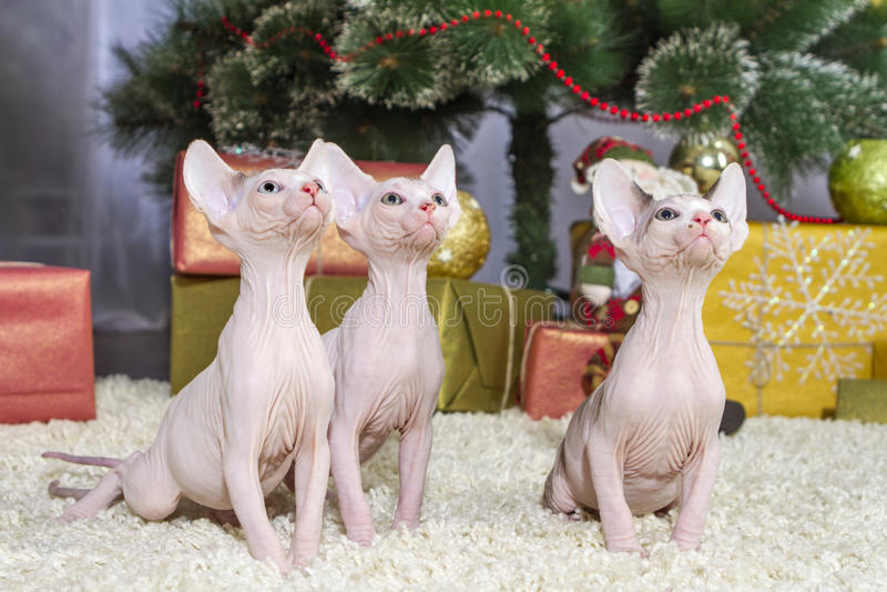 Gato canadense do sphynx fotos de stock royalty free