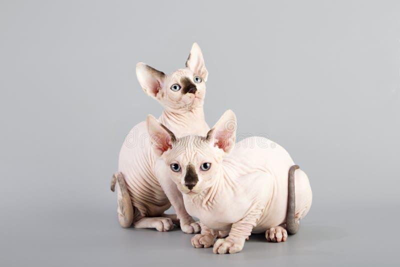 Gato canadense do sphynx fotografia de stock royalty free