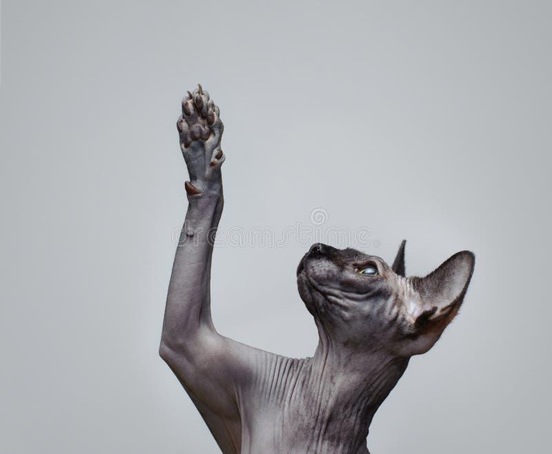 Gato canadiense del sphynx foto de archivo
