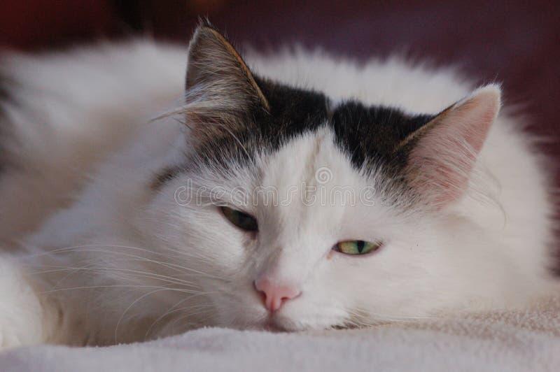 Gato cansado fotografía de archivo