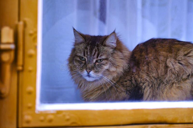Gato casero gruñón en la ventana imagen de archivo