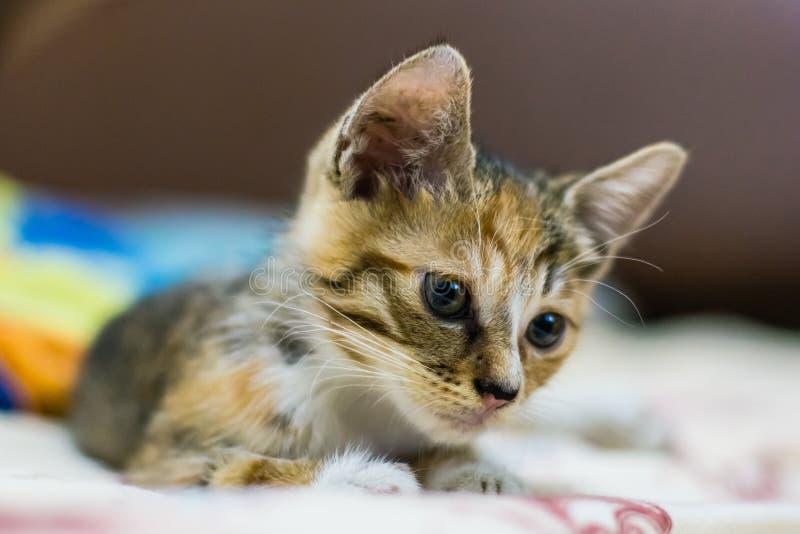 Gato chinês - Dragão-Li imagens de stock royalty free