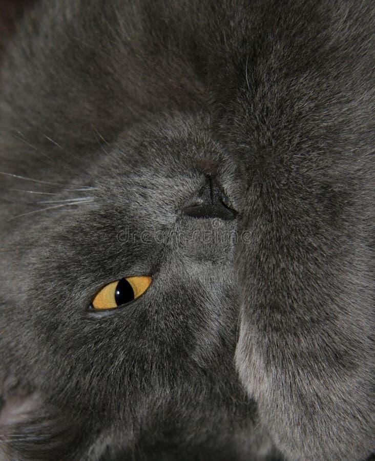 Gato cinzento imagem de stock