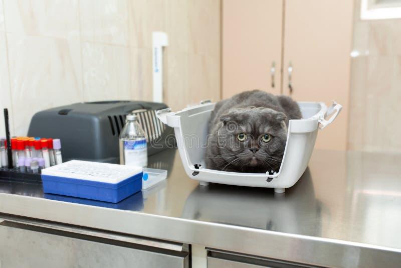 Gato cinzento amedrontado na espera da caixa plástica para o procedimento na clínica veterinária fotografia de stock royalty free