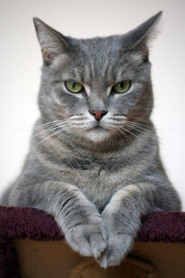 Gato cinzento bonito imagens de stock