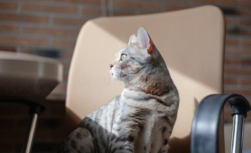 Gato cinzento bonito bonito de Bengal com os olhos verde-claro, sentando-se no sofá imagem de stock royalty free