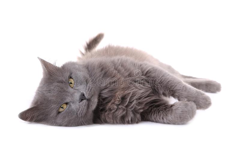 Gato cinzento bonito isolado em um fundo branco fotografia de stock