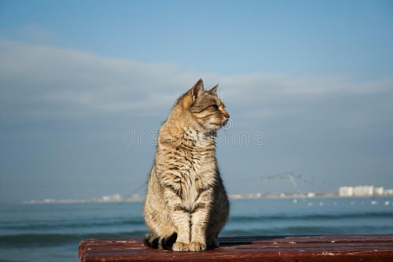 Gato cinzento bonito poderoso grande que senta-se no banco No fundo é o mar fotos de stock