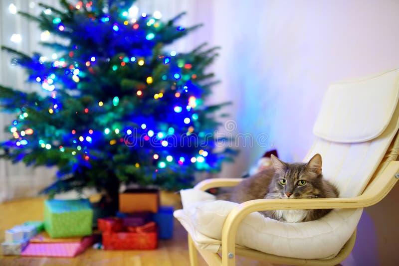 Gato cinzento bonito que dorme em uma cadeira no dia de Natal Passando o tempo com família e animais de estimação no Natal imagens de stock royalty free