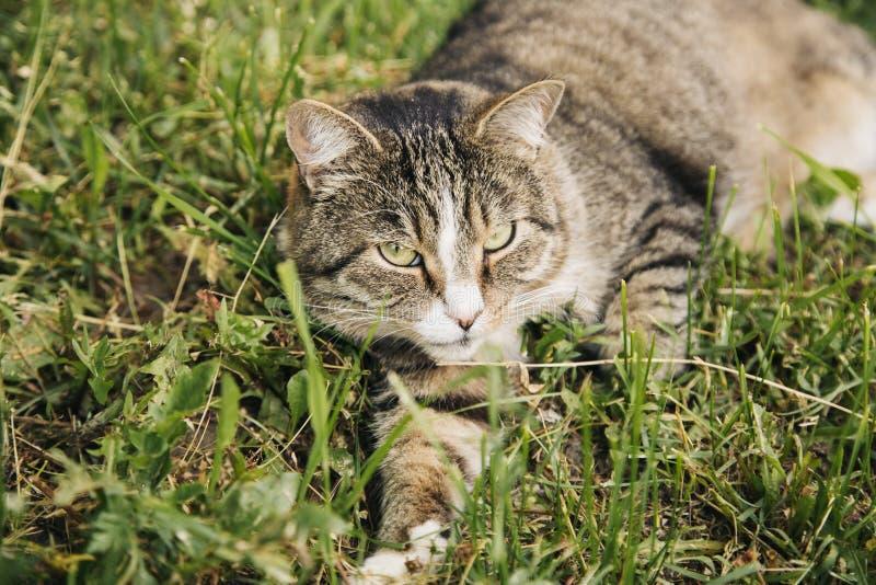 Gato cinzento bonito que encontra-se na grama exterior imagem de stock royalty free