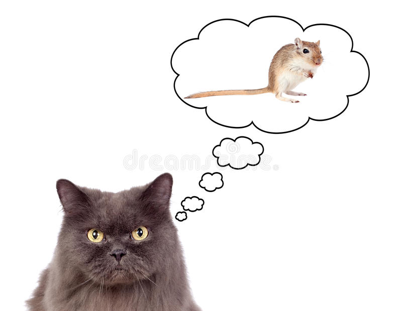 Gato cinzento bonito que pensa em um rato imagem de stock
