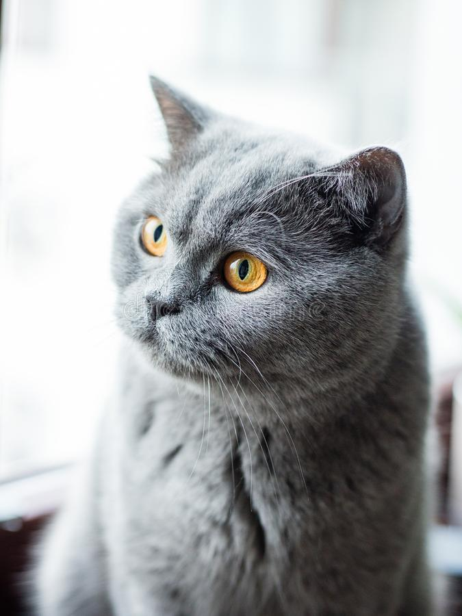 Gato cinzento britânico bonito, retrato do close-up, grandes olhos amarelos foto de stock
