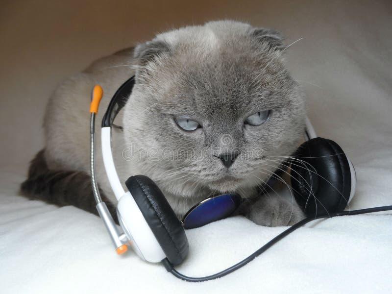 Gato cinzento com fones de ouvido fotografia de stock royalty free