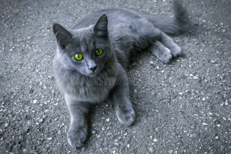 Gato cinzento com olhos verdes foto de stock