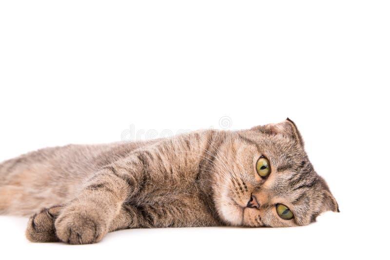 Gato cinzento de encontro em um fundo branco imagens de stock