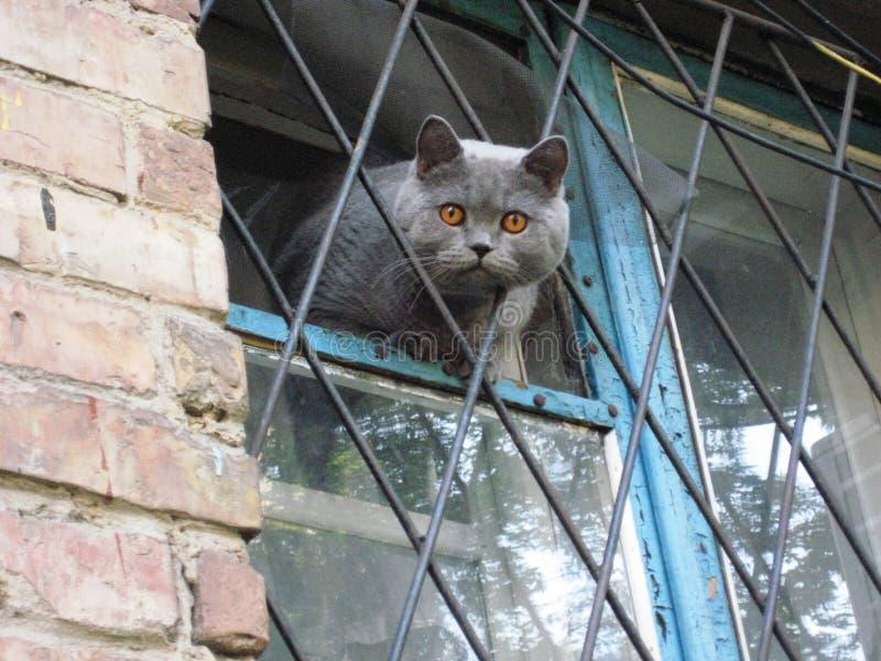 Gato cinzento do animal de estimação bonito que senta-se na janela imagens de stock royalty free