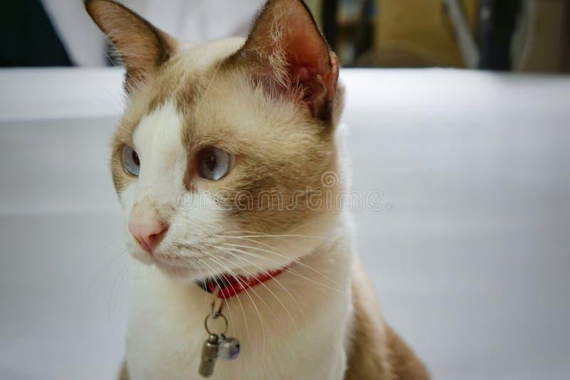 Gato cinzento e branco imagens de stock