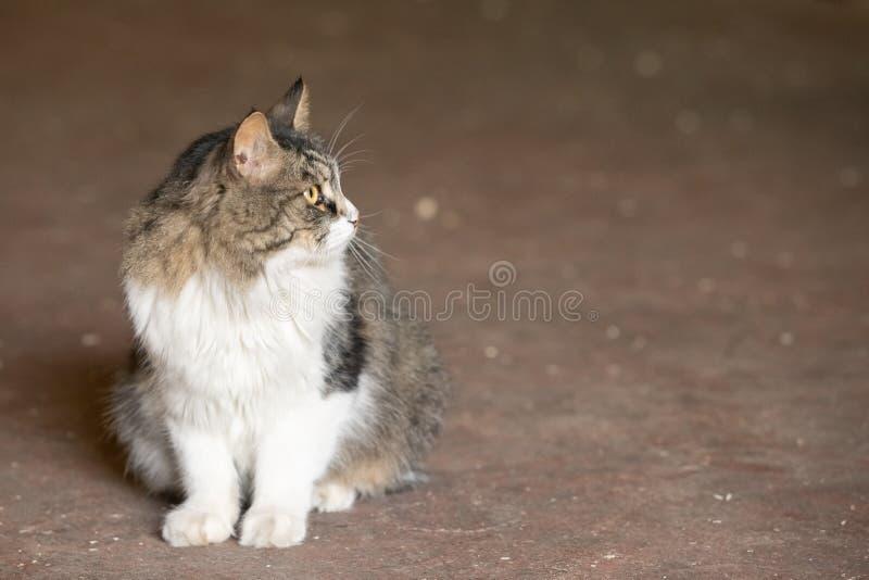 Gato cinzento e branco amedrontado olhando a c?mera que senta-se na terra no fundo borrado foto de stock