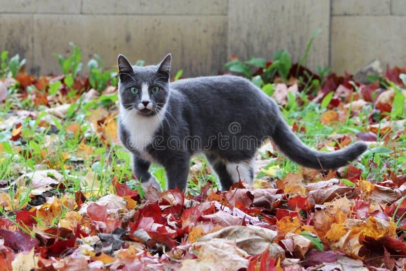gato cinzento e branco que anda nas folhas de bordo bonitas do outono da rua a terra imagens de stock royalty free