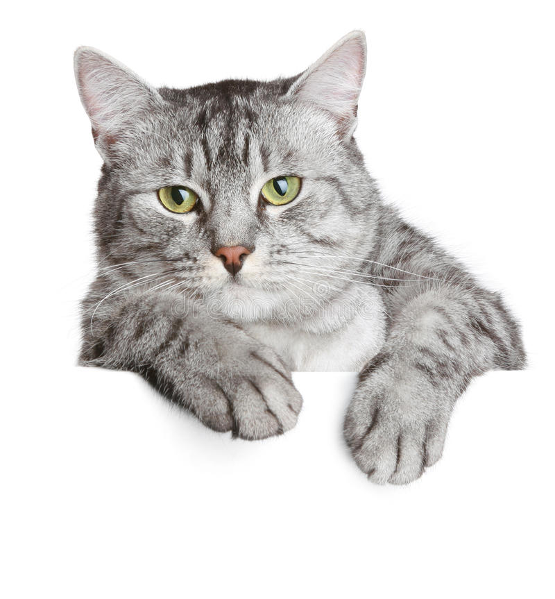 Gato Cinzento Em Uma Bandeira Imagem de Stock Royalty Free