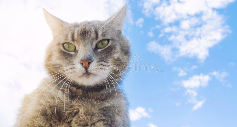 Gato cinzento engraçado em um fundo do céu azul Retrato do animal de estima??o Gatinho listrado animal Lugar para o texto fotografia de stock royalty free