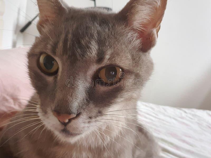 Gato cinzento gordo imagens de stock
